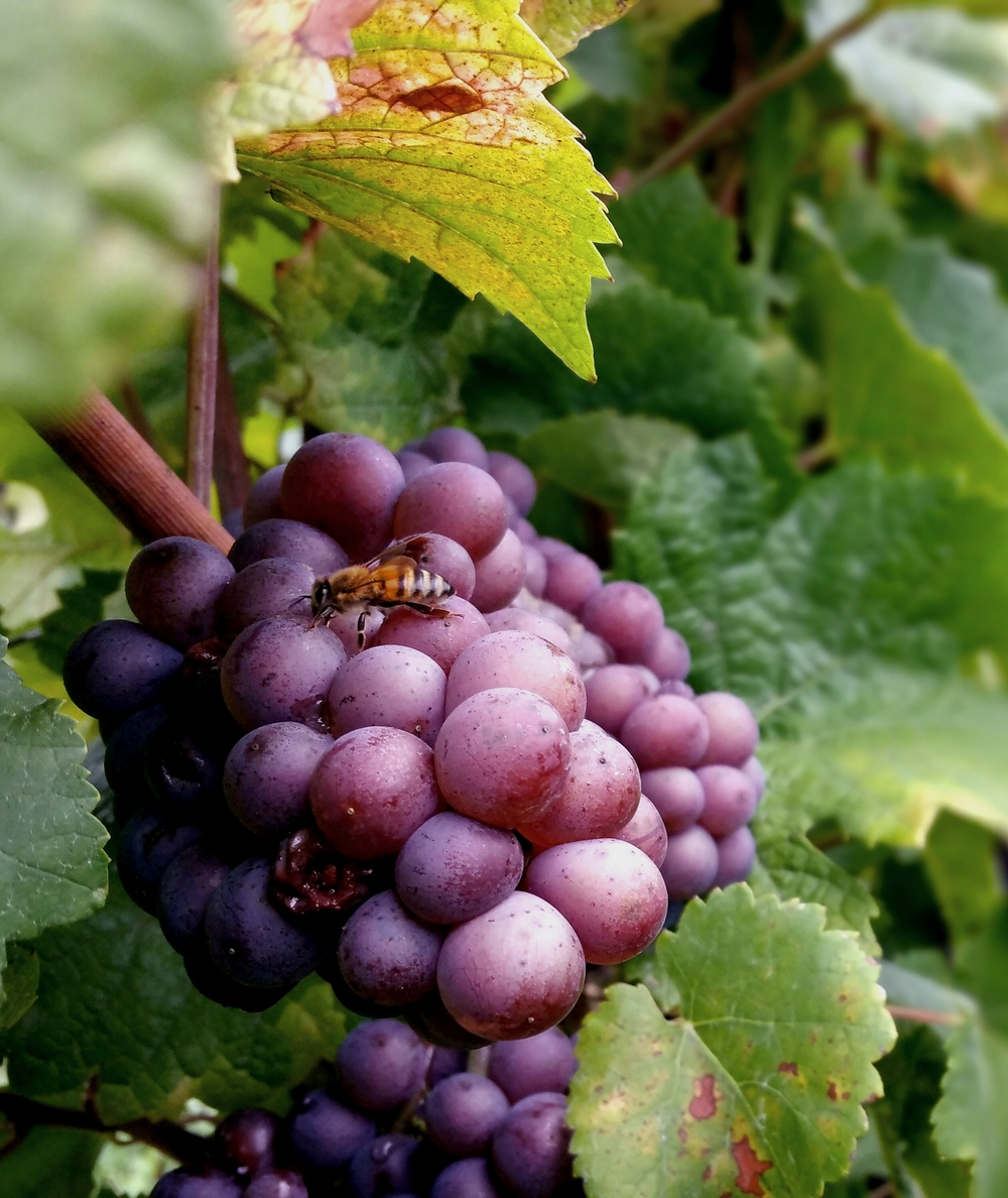 Pinot Gris abeille